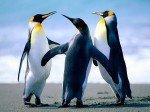 Bonne année 2012 Penguins2-150x112